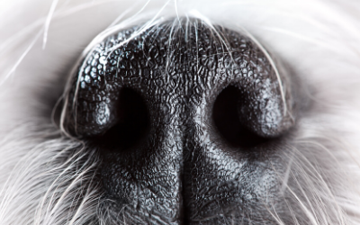 image for Disease-Detecting Dogs – Even COVID-19